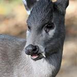 220px-elaphodus_cephalophus_michianus_magdeburg_zoo_20-10-2012_01