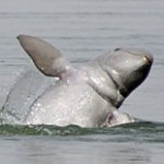 dkoehl_irrawaddi_dolphin_jumping