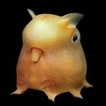 dumbo-octopus-round