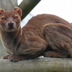 fossa_by_caroline_williams_photography